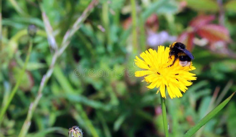 Abeja en una flor salvaje imagen de archivo libre de regalías
