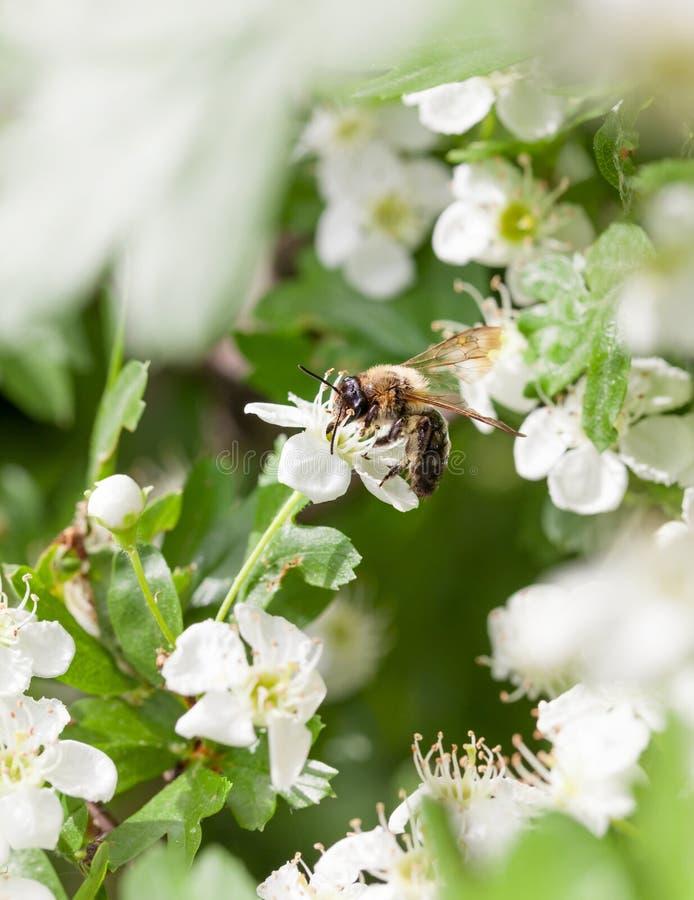 Abeja en whitethorn del flor imagen de archivo libre de regalías