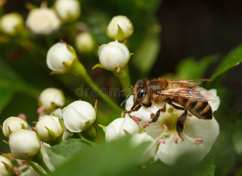Abeja en whitethorn del flor fotos de archivo libres de regalías
