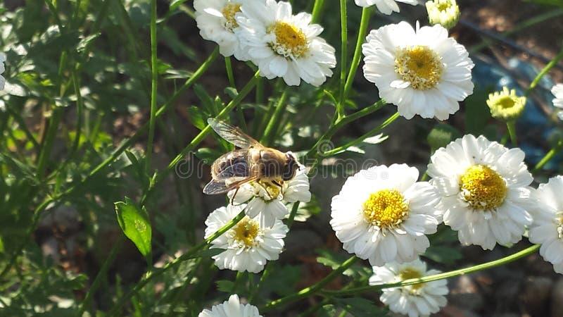 Abeja encaramada en una flor fotografía de archivo