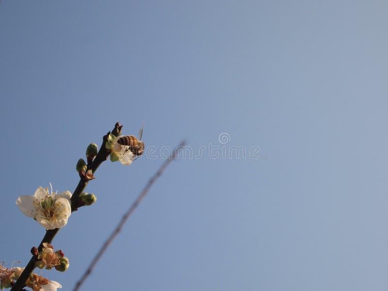 Abeja, flor, primavera, floreciendo, miel imágenes de archivo libres de regalías