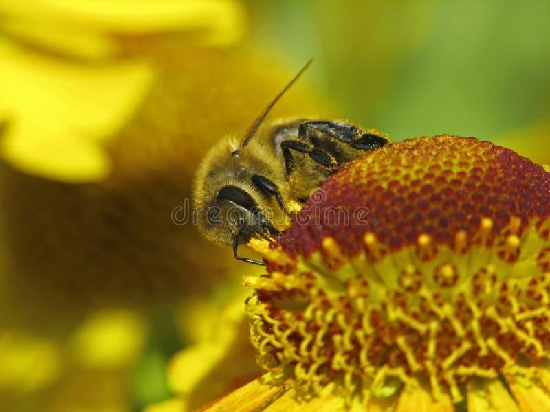 Abeja occidental de la miel, abeja europea de la miel foto de archivo libre de regalías