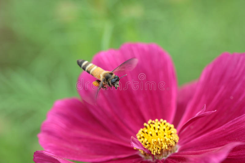 Abeja polinizada de la flor roja imagen de archivo