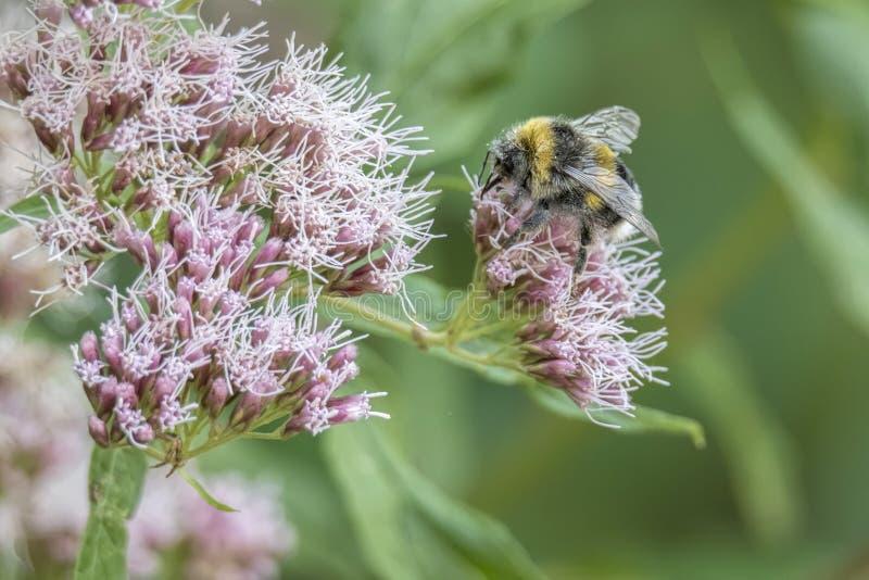 Abeja que chupa el néctar en la flor fotos de archivo