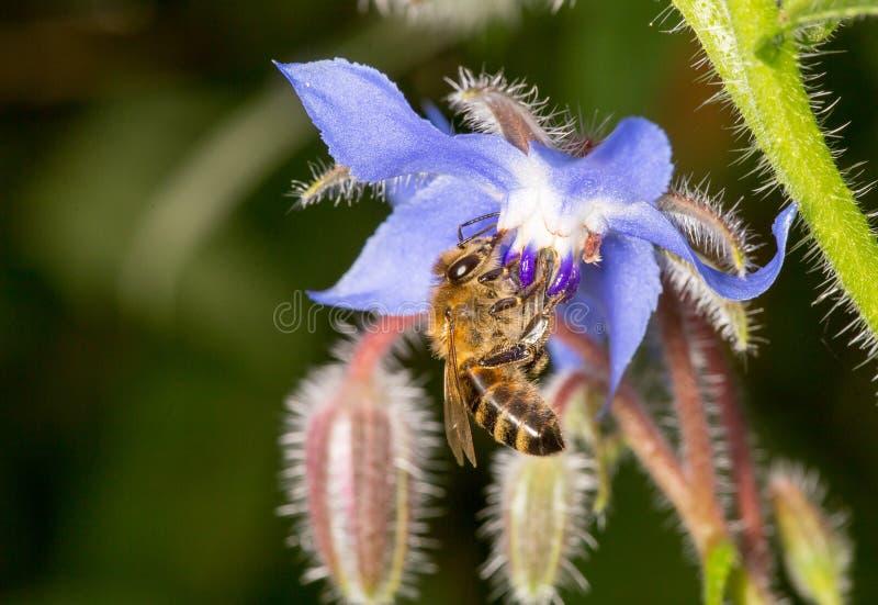 Abeja que poliniza el Borago púrpura azul Officinalis de Starflower fotografía de archivo