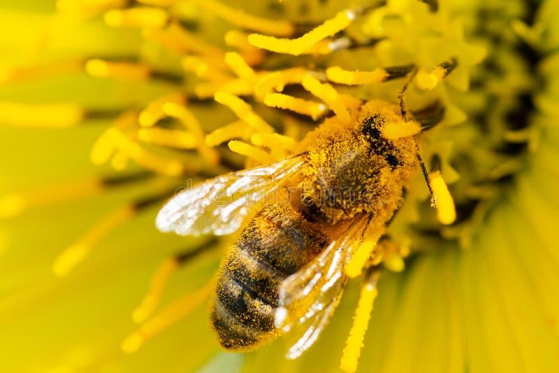 Abeja que poliniza en el girasol falso amarillo en campo de la pradera Familia del Asteraceae Perenne herbáceo de Rhizomatous imagen de archivo