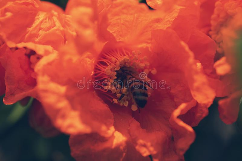 Abeja que poliniza un flor de la granada fotos de archivo