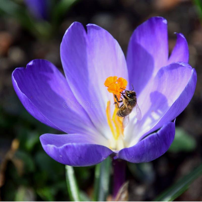 Abeja que recoge el polen en azafrán púrpura de la primavera fotografía de archivo