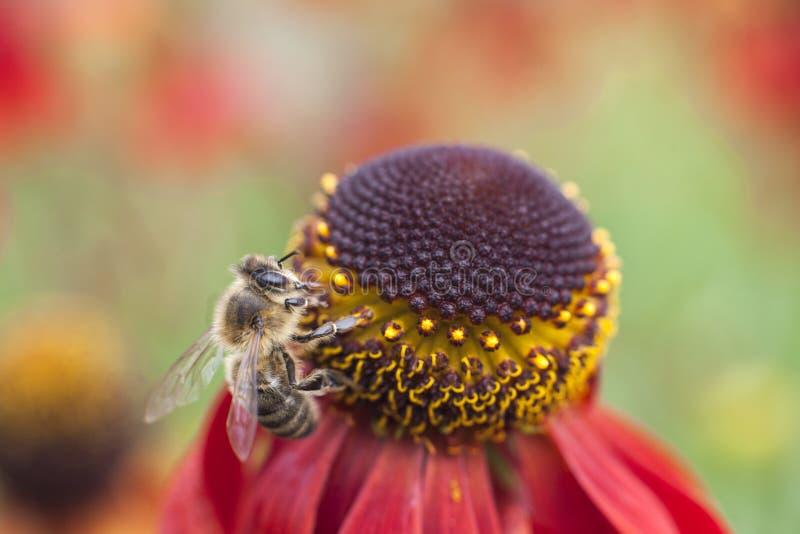 Abeja que recoge la miel en purpurea rojo del echinacea foto de archivo