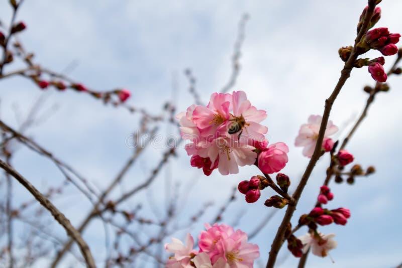 Abeja que recolecta el polen de la alimentación en la flor del árbol de melocotón foto de archivo