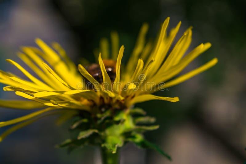 Abeja que recolecta el polen en el Inula floreciente fotografía de archivo libre de regalías