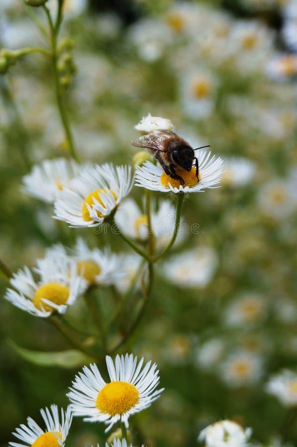 Abeja que se sienta en una flor con los pétalos blancos foto de archivo libre de regalías