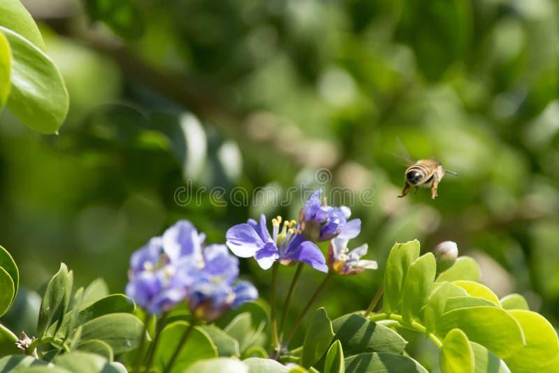 Abeja que vuela lejos después de recolectar el polen de las flores púrpuras de un árbol de los guayacos imágenes de archivo libres de regalías