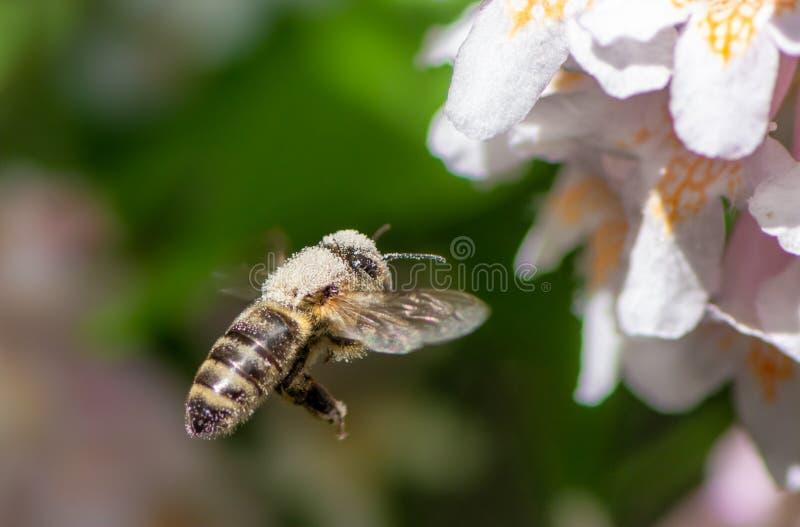 Abeja que vuela a un flor de la flor foto de archivo libre de regalías