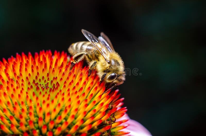 Abeja recolectando miel de la flor imágenes de archivo libres de regalías