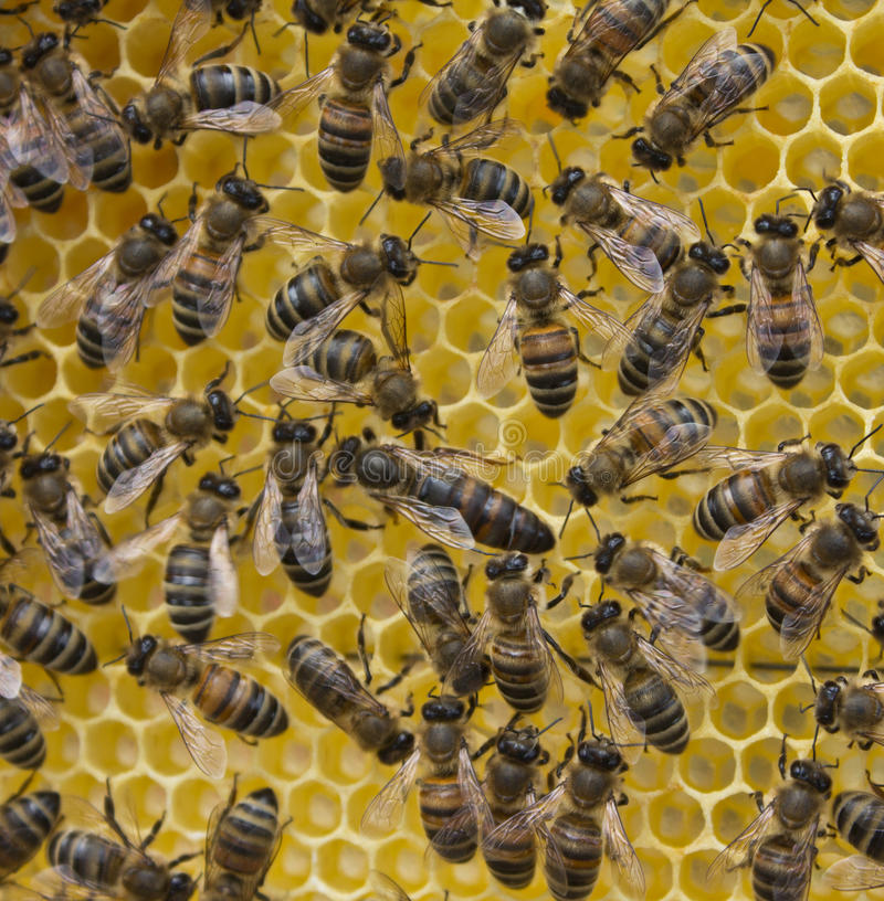 Abeja reina y abejas foto de archivo libre de regalías