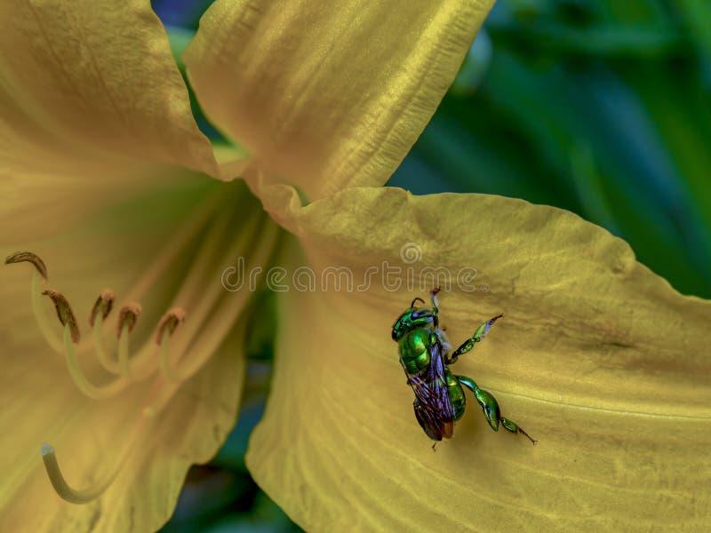 Abeja verde muy rara de la orquídea foto de archivo