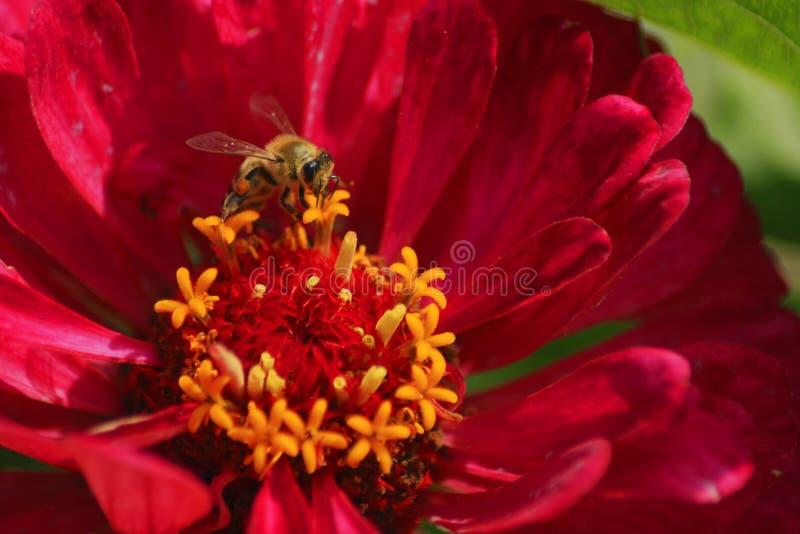 Abeja y flor foto de archivo libre de regalías