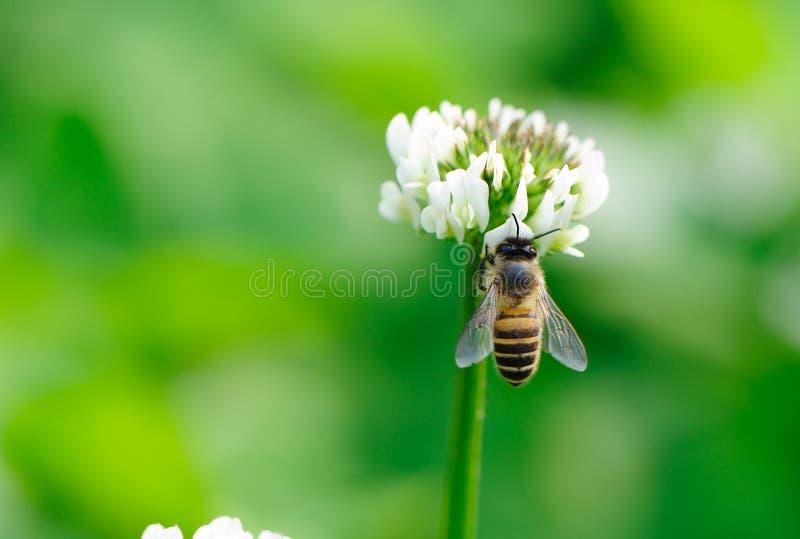 Abeja y flor blanca imagen de archivo