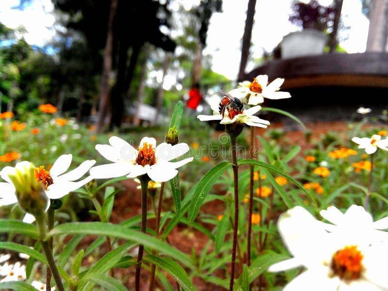 Abeja y flor blanca del zinnia imágenes de archivo libres de regalías