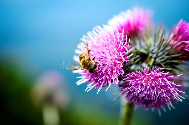 Abeja y flor en la montaña foto de archivo