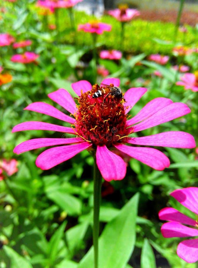 Abeja y flor rosada del zinnia fotos de archivo