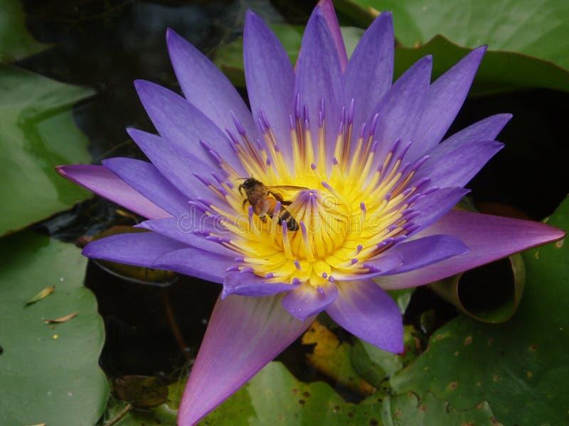 Abeja y loto púrpura fotografía de archivo libre de regalías