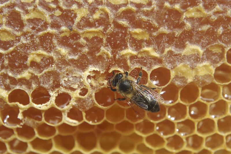 Abeja y miel. imagenes de archivo