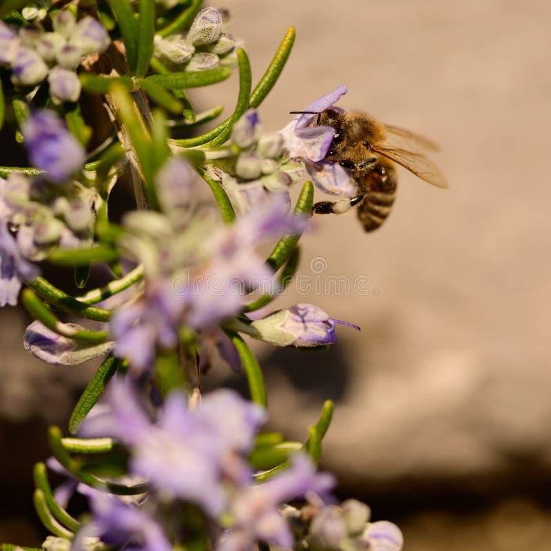 Abejas, abeja de la miel que chupa el néctar y polinating en Rosemary, flor de Rosmarin, officinalis del Rosmarinus, con su lila  imágenes de archivo libres de regalías