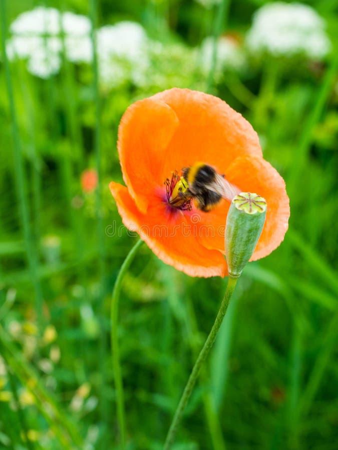 Abejas borrosas de la miel que recogen el polen de la flor anaranjada por la mañana, foco selectivo de la amapola imagen de archivo