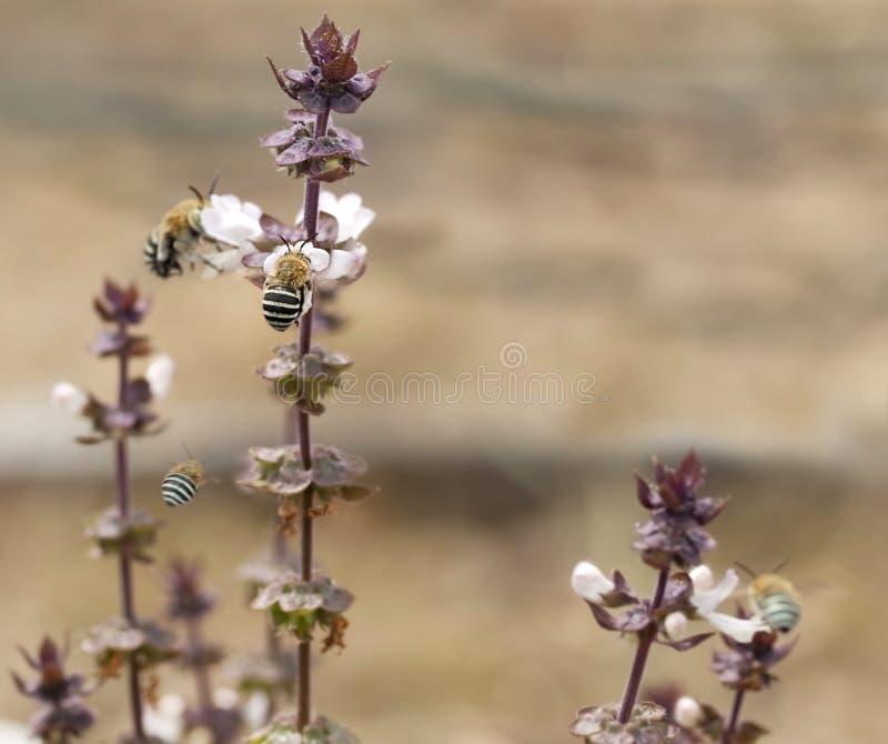 Abejas congregadas azul australiano Amegilla y albahaca foto de archivo libre de regalías