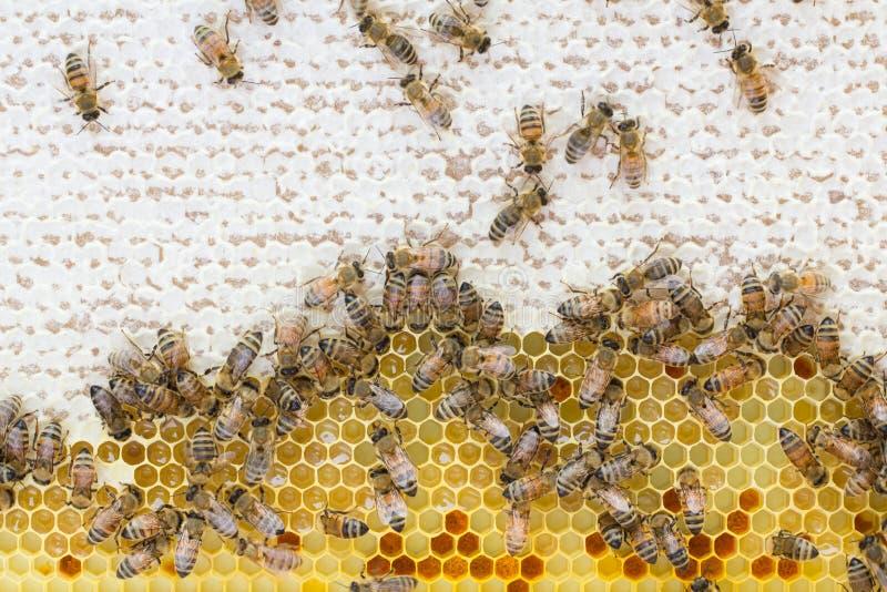 Abejas de la miel en el panal fotos de archivo libres de regalías
