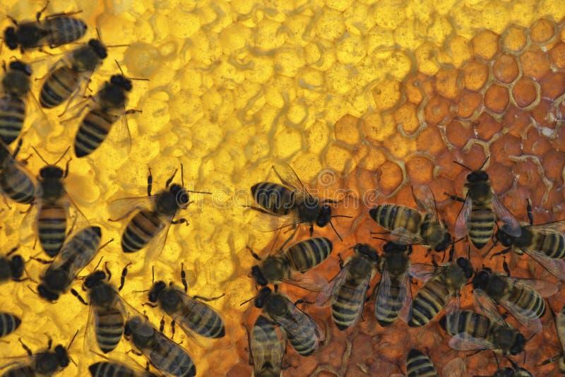Abejas de la miel en el panal imágenes de archivo libres de regalías