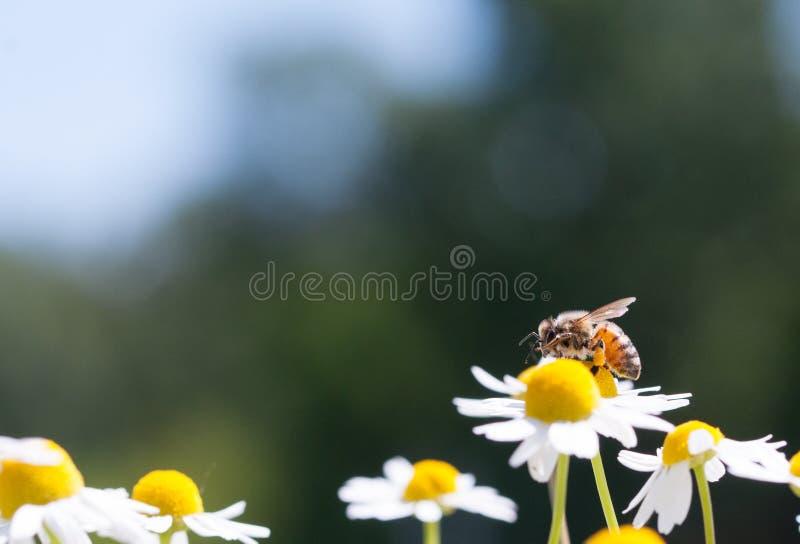 Abejas de la miel en la flor fotos de archivo
