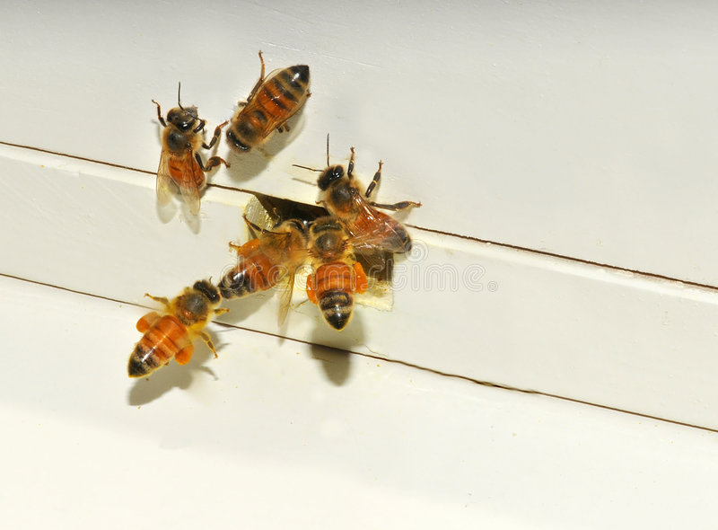 Abejas de la miel que entran en la colmena imagen de archivo