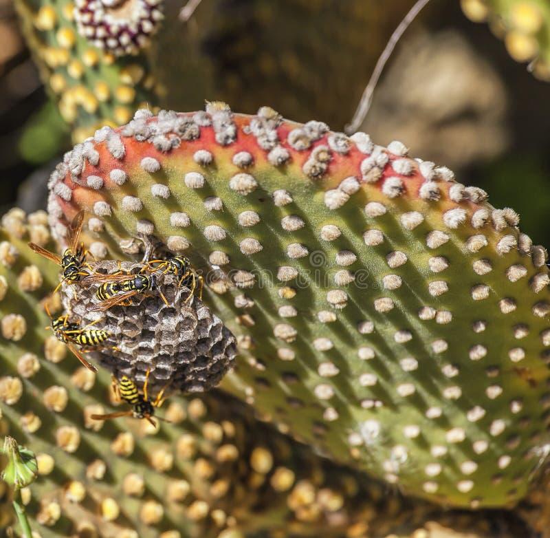 Abejas en la hoja del cactus foto de archivo