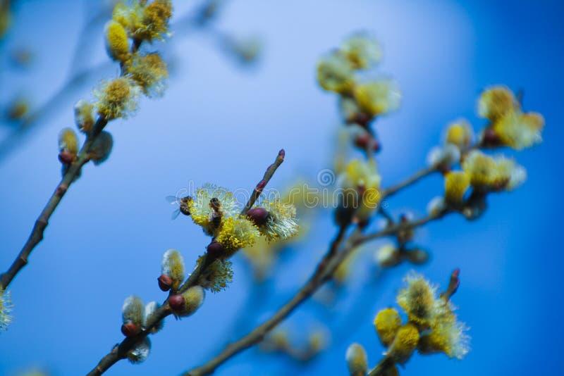 Abejas en primavera foto de archivo