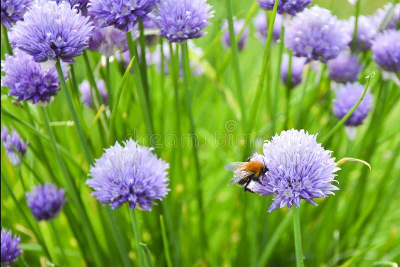Abejas en sphaerocephalon del allium Palillo del allium, tambi?n sabido como el sphaerocephalon, produce las cabezas de flor bico fotografía de archivo libre de regalías