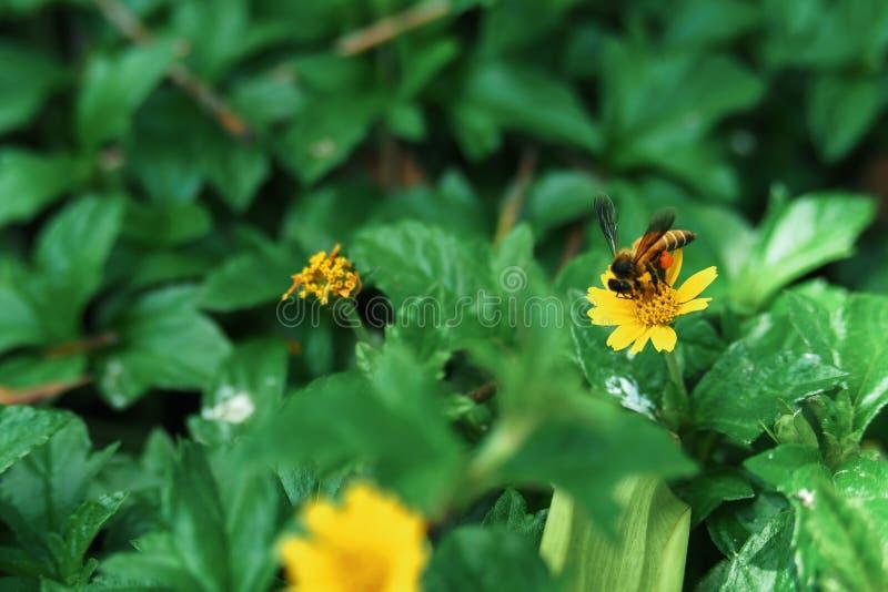 Abejas encaramadas en una pequeña flor amarilla, en un fondo natural imagen de archivo libre de regalías