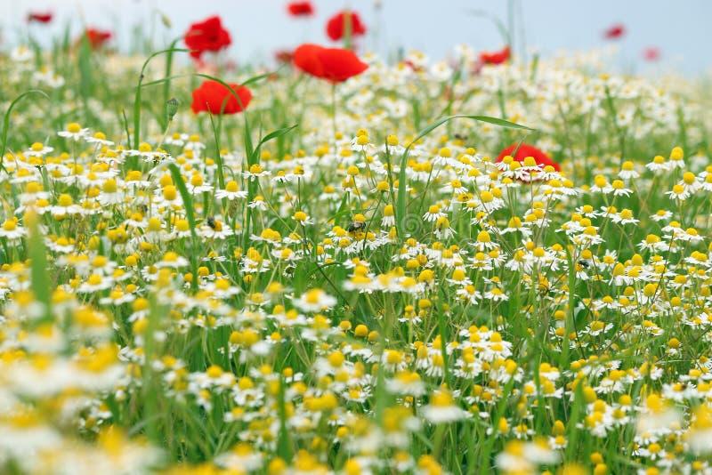 Abejas manzanilla y prado de la flor de la amapola imagen de archivo
