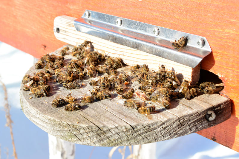 Abejas muertas de la miel - envenenadas por los pesticidas y los GMOs fotografía de archivo