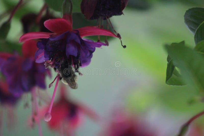 Abejas ocupadas en flores de la primavera que recogen el néctar imágenes de archivo libres de regalías