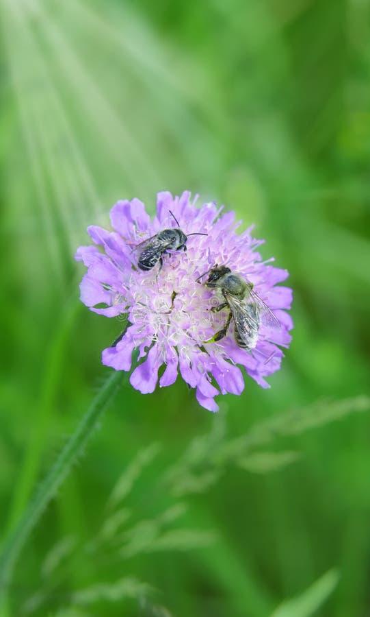 Abejas que recogen el néctar de un wildflower contra la perspectiva de hierba verde enorme imagen de archivo libre de regalías