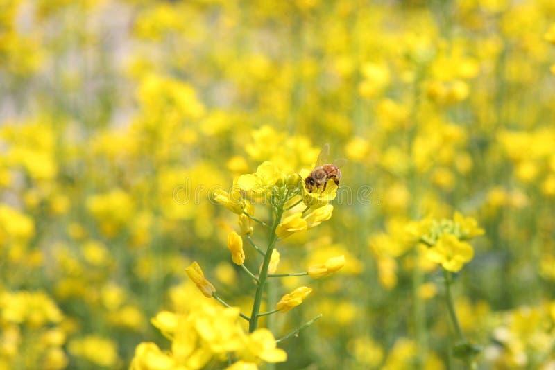 Abejas y flor amarilla foto de archivo