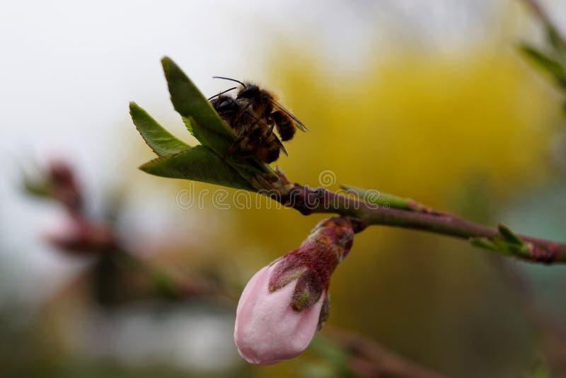 Abejas y floración del melocotón - primavera fotos de archivo