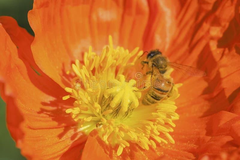 Abejas y flores imagenes de archivo