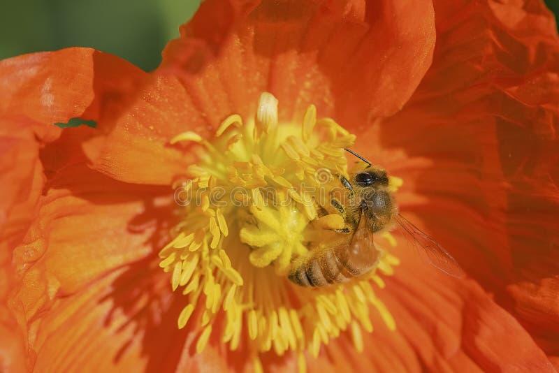 Abejas y flores imagen de archivo