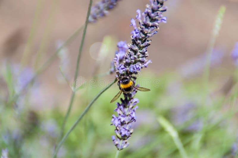Download Abejorro foto de archivo. Imagen de abeja, animal, verano - 42446104