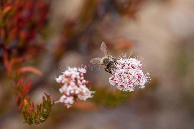 Abejorro de California que recoge el polen del Wildflower en el parque del desierto de la costa de Laguna, Laguna Beach, fotografía de archivo