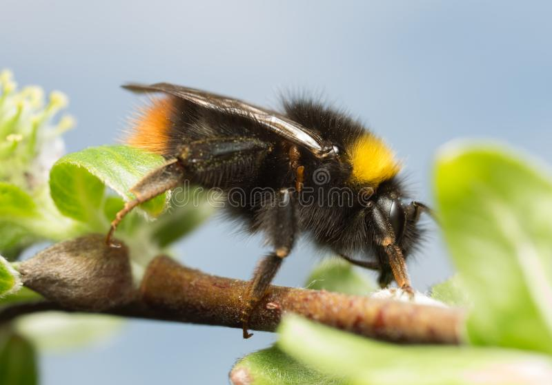 abejorro de la Temprano-jerarquización, pratorum del Bombus que alimenta en amento fotos de archivo
